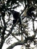 PRIMATE - BLACK AND WHITE COLOBUS - UGANDA.jpg