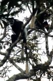 PRIMATE - BLACK AND WHITE COLOBUS - UGANDAA.jpg