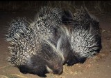 RODENTIA - SOUTHERN AFRICAN CRESTED PORCUPINE.jpg
