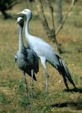 BIRDS - CRANE - BLUE - KRUGER C.jpg