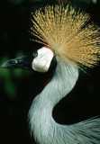 BIRDS - CRANE - CROWNED CRANE - SOUTHERN D.jpg