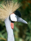 BIRDS - CRANE - CROWNED CRANE - SOUTHERN F.jpg