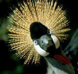 BIRDS - CRANE - CROWNED CRANE - SOUTHERN G.jpg