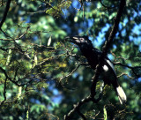 BIRDS - HORNBILL - BLACK AND WHITE CASQUED FEMALE.jpg