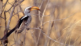 BIRDS - HORNBILL - YELLOWBILLED - OKAVANGO.jpg