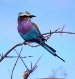 BIRDS - ROLLER - LILAC BREASTED - OKAVANGO A.jpg