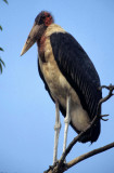 BIRDS - STORK - MARABOU- KENYA.jpg