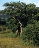 UGANDA - SAUSAGE TREE.jpg