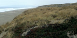 CALIFORNIA - POINT REYES - DUNE COMMUNITY - COASTAL STRAND - AMMOPHILIA ARENARIA - BEACH GRASS.jpg