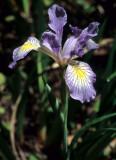 CALIFORNIA - REDWOODS NP - LILIACEAE - IRIS DOUGLASII (2).jpg