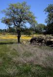 CALIFORNIA - SIERRA - QUERCUS SPECIES IN WILDFLOWER FIELD - FOOTHILLS A (2).jpg