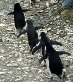 BIRD - PENGUIN - ADELIES IN ANTARCTICA (10).jpg