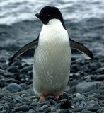 BIRD - PENGUIN - ADELIES IN ANTARCTICA.jpg