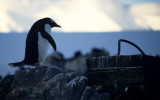 BIRD - PENGUIN - GENTOO IN ANTARCTICA (3).jpg