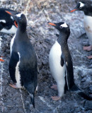 BIRD - PENGUIN - GENTOO ROOKERIES (32).jpg