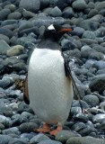 BIRD - PENGUIN - GENTOO ROOKERIES (47).jpg