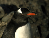 BIRD - PENGUIN - GENTOO ROOKERIES (7).jpg