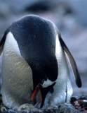 BIRD - PENGUIN WITH NEW CHICK 1 (2).jpg