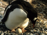 BIRD - PENGUIN WITH NEW CHICK 1 (4).jpg