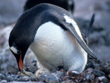 BIRD - PENGUIN WITH NEW CHICK.jpg