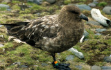 BIRD - SKUA - ANTARCTIC - IN ANTARCTICA (3).jpg
