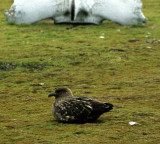 BIRD - SKUA - ANTARCTIC - IN ANTARCTICA.jpg