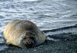 PINNIPED - SEAL - SOUTHERN ELEPHANT SEALS - ANTARCTICA (14).jpg