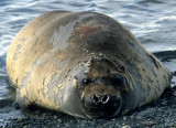 PINNIPED - SEAL - SOUTHERN ELEPHANT SEALS - ANTARCTICA (15).jpg