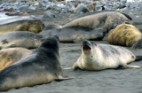 PINNIPED - SEAL - SOUTHERN ELEPHANT SEALS - ANTARCTICA (18).jpg