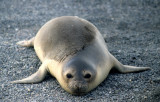 PINNIPED - SEAL - SOUTHERN ELEPHANT SEALS - ANTARCTICA (2).jpg