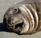 PINNIPED - SEAL - SOUTHERN ELEPHANT SEALS - ANTARCTICA (26).jpg