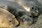 PINNIPED - SEAL - SOUTHERN ELEPHANT SEALS - ANTARCTICA (4).jpg