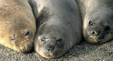 PINNIPED - SEAL - SOUTHERN ELEPHANT SEALS - ANTARCTICA (5).jpg