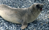 PINNIPED - SEAL - SOUTHERN ELEPHANT SEALS - ANTARCTICA (6).jpg
