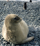 PINNIPED - SEAL - WEDDEL SEALS - ANTARCTICA (2).jpg