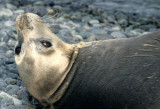 PINNIPED - SEAL - WEDDELL SEAL - ANTARCTICA (2).jpg