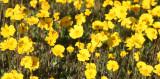 ASTERACEAE - COREOPSIS BIGELOVII - TICKSEED - CARRIZO PLAIN NATIONAL MONUMENT CALIFORNIA (3).JPG