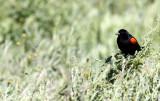 BIRD - BLACKBIRD - REDWINGED BLACKBIRD - CARRIZO PLAIN NATIONAL MONUMENT (2).JPG