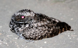 BIRD - COMMON POORHILL - PHALAENOPTILUS NUTTALLII - CARRIZO PLAIN NATIONAL MONUMENT (5).JPG