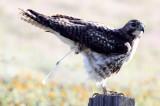 BIRD - HAWK - FERRUGINOUS HAWK - CARRIZO PLAIN NATIONAL MONUMENT (11).JPG