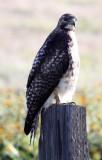 BIRD - HAWK - FERRUGINOUS HAWK - CARRIZO PLAIN NATIONAL MONUMENT (7).JPG