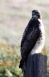 BIRD - HAWK - FERRUGINOUS HAWK - CARRIZO PLAIN NATIONAL MONUMENT.JPG