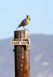 BIRD - MEADOW LARK - WESTERN MEADOWLARK - CARRIZO PLAIN NATIONAL MONUMENT (2).JPG