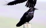 BIRD - RAVEN - COMMON RAVEN - CARRIZO PLAIN NATIONAL MONUMENT (2).JPG