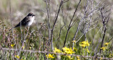 BIRD - SPARROW-  LARK SPARROW - CARRIZO PLAIN NATIONAL MONUMENT (3).JPG