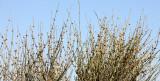 EPHEDRACEAE - EPHEDRA CALIFORNICA - DESERT TEA - CARRIZO PLAIN NATIONAL MONUMENT CALIFORNIA (3).JPG