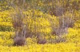 POACEAE - POA SECUNDA - NATIVE BLUE GRASS - WITH GOLD FIELDS - CARRIZO PLAIN NATIONAL MONUMENT (2).JPG