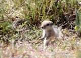 RODENT - SQUIRREL - SAN JOAQUIN ANTELOPE SQUIRREL - NELSON'S ANTELOPE SQUIRREL - CARRIZO PLAIN NATIONAL MONUMENT (2).JPG