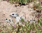 RODENT - SQUIRREL - SAN JOAQUIN ANTELOPE SQUIRREL - NELSON'S ANTELOPE SQUIRREL - CARRIZO PLAIN NATIONAL MONUMENT (8).JPG
