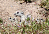 RODENT - SQUIRREL - SAN JOAQUIN ANTELOPE SQUIRREL - NELSON'S ANTELOPE SQUIRREL - CARRIZO PLAIN NATIONAL MONUMENT (9).JPG